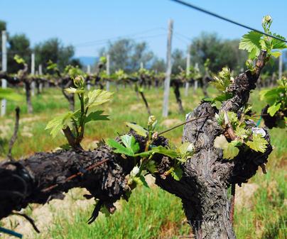 D.O. Vinos de Pago- Uva Chardonnay