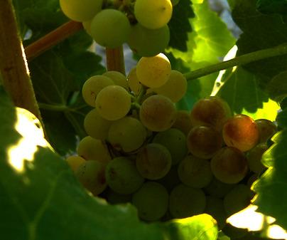 Denominación de Origen Vino de Valdepeñas - Uva Macabeo