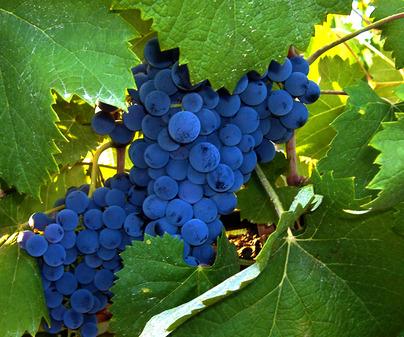 Denominación de Origen Vino de Almansa