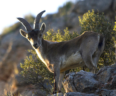Cerro de Rala. Cabra Montesa