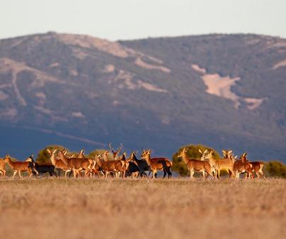 FMAR Caza Ciervos Cabañeros
