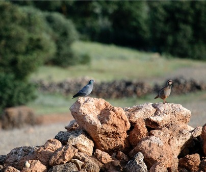 Dehesa y Fauna San Clemente Perdiz y Torcaz