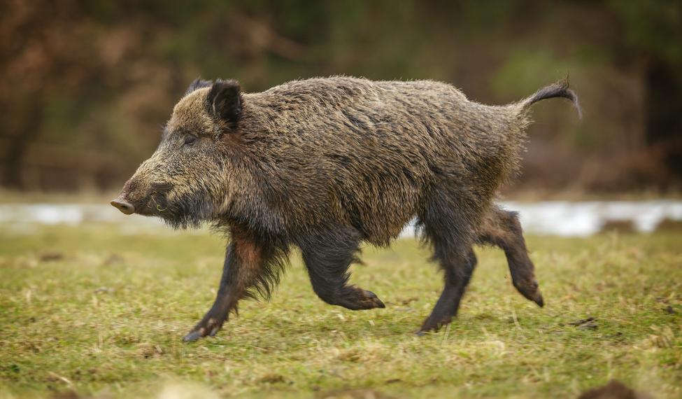 Wild boar from Castile-La Mancha