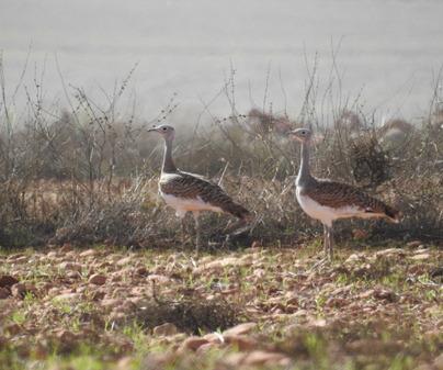 albacete birding otis